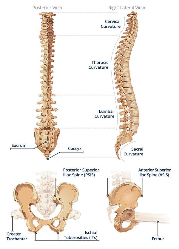 Spine and Pelvis Anatomy Refresher